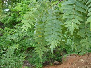 Boswellia_serrata,I_PAO2543